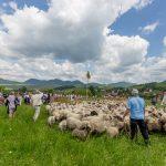 """V Dolnej Tižine sa miešanie oviec nazývalo """"zlúčeňje"""", ovce sa miešali do kruhu v smere hodinových ručičiek, odymovali sa bylinami, aby si na seba lepšie privykli a posýpali sa soľou."""