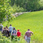 Ako dnes, aj v minulosti sa na rediku - redikaní zúčastnila takmer celá dedina, každý chcel prispieť k dobrej salašnej sezóne priamo pomocou pri výhone oviec, nesení salašného riadu, alebo aspoň prianí dobrej salašnej sezóny.