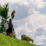 Ovečky (cigáje) pod Borovou. Karpatské salašníctvo viac ako pred 500 rokmi prinieslo do našich končín okrem zmeny krajiny aj na tú dobu revolučné mliečne hospodárstvo, výrobky ako bryndza a oštiepky sa natrvalo stali súčasťou slovenskej kuchyne a gastronómie.